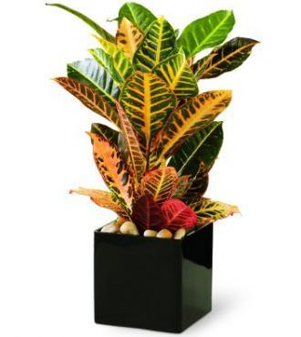 Croton Plant by Soderberg's Floral & Gift