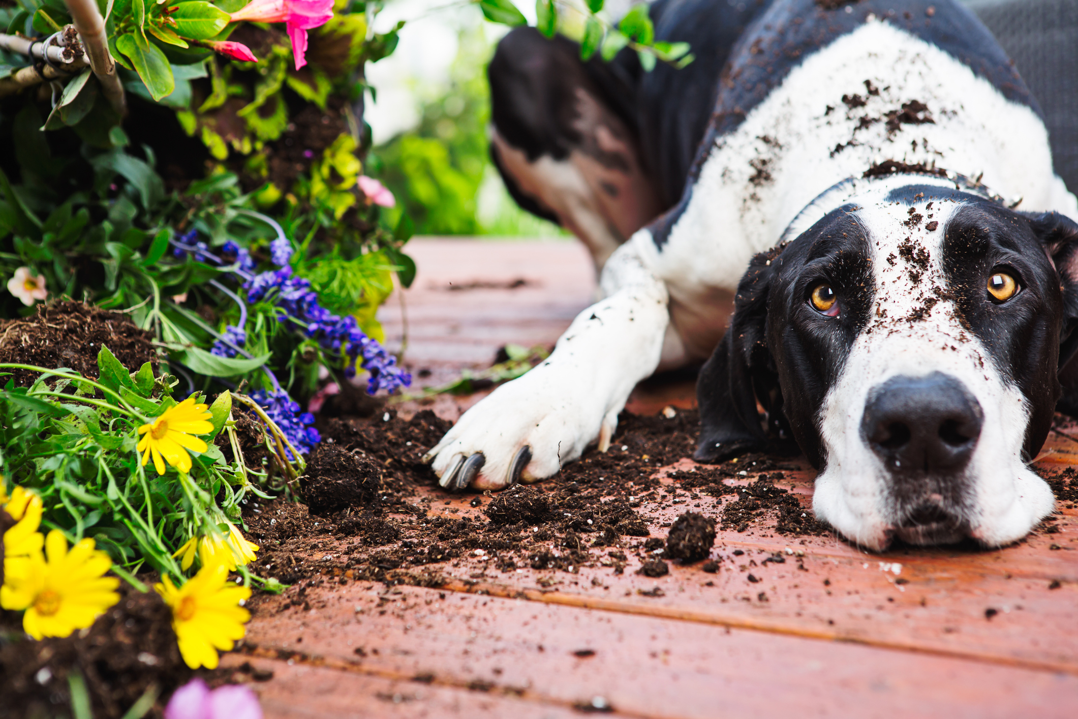 We all love fresh flowers and plants for the beauty they provide and their incredible aromas that fill our homes. Unfortunately, our pets don't enjoy ...