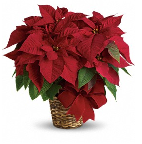 Triple Red Poinsettia by Soderberg's Floral & Gift